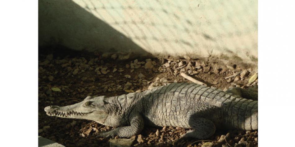 Gobierno autoriza el comercio de piel de caimán tras 15 años de prohibición