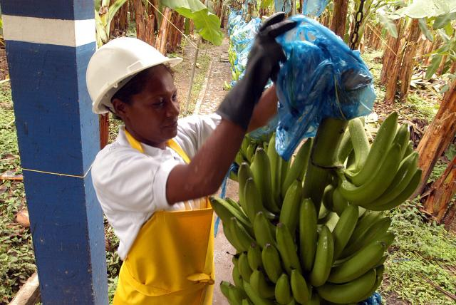 Declararán emergencia por confirmación de plaga del banano en Colombia