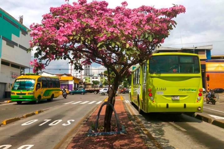 Así se ven las calles de Bucaramanga con los guayacanes florecidos