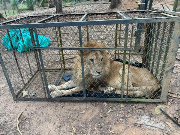Tristeza en Cali: se conoció la enfermedad que padece el león Júpiter