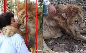 Murió en Cali el león Júpiter