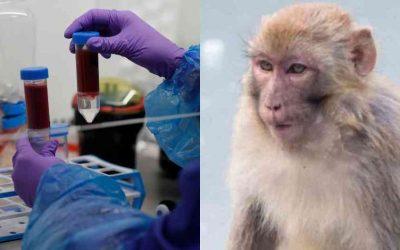 Monos se llevan muestras de sangre de pacientes sospechosos de tener covid-19 en la India