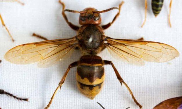 Nueva amenaza a la salud: Avispones gigantes invasores son vistos por primera vez en Estados Unidos