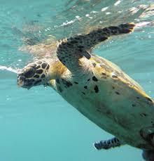 Guardaparques trabajan en la protección de las tortugas marinas que llegan a las playas del Parque Nacional Natural Tayrona
